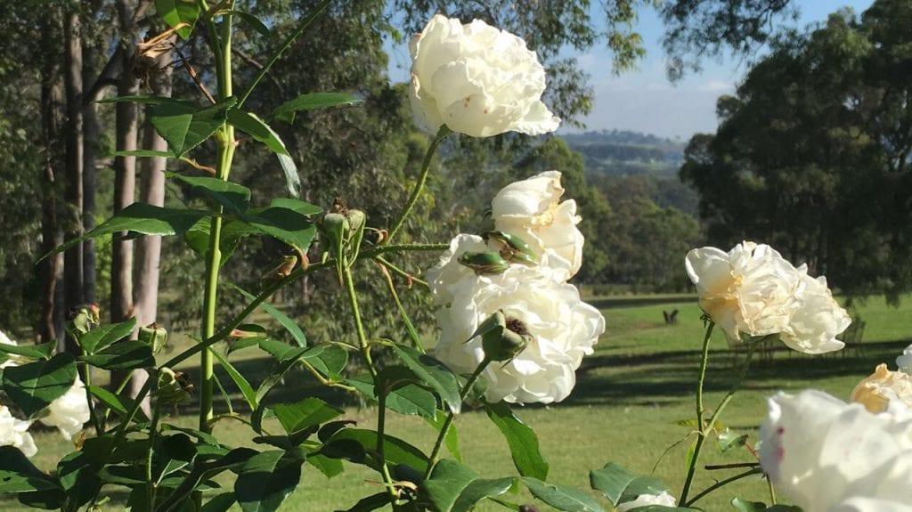 Elfin Hill Roses